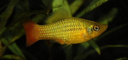 Bonte platy Xiphophorus variatus