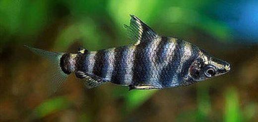 Abramites Microcephalus