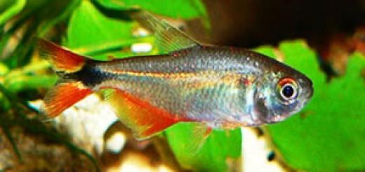Hemigrammus Caudovittatus