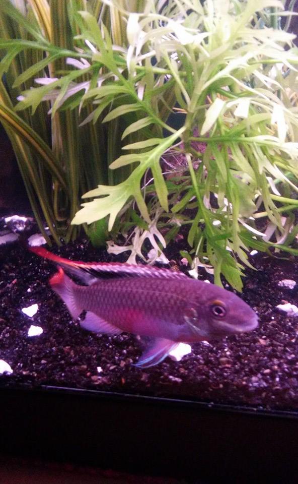 Pelvicachromis pulcher man
