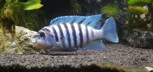 Metriaclima zebra chilumba maisoni reef