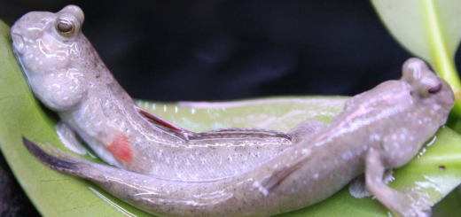 Periophthalmus novemradiatus