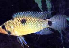 apistogramma hippolytae