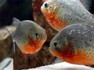 zuid amerikaanse aquarium vissen